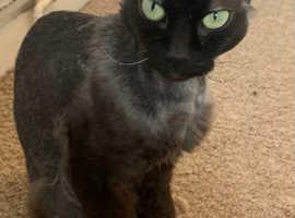 Donksoy sphynx kittens for sale