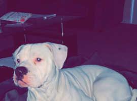 American Bulldog Puppy For Sale