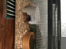 9 month old corn snake