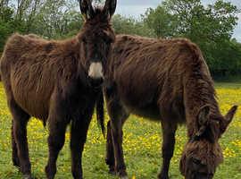 Mini Jenny donkeys