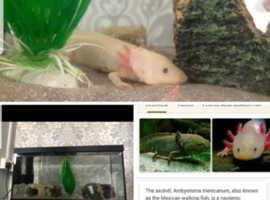 Axolotl fish and tank