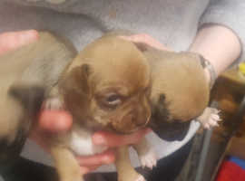 Jackawawa in North West England | Dogs & Puppies For Sale