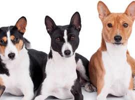 Wanted Basenj Puppy
