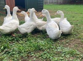 Aylesbury Ducks for sale