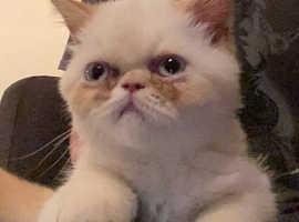 Exotic Persian/ chinchilla Persian kitten
