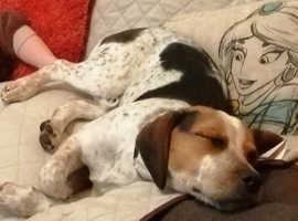 6 month old beagle x springer