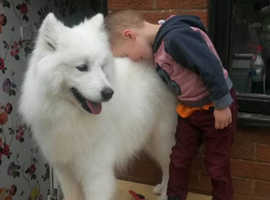 Lovng Samoyed Pups Fully Health Tested