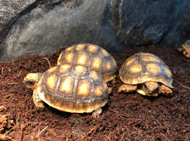 Tortoise (Redfoot)