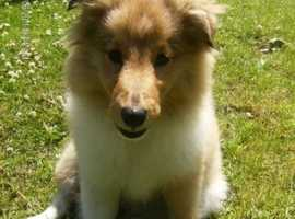 WANTED - Sheltie puppy