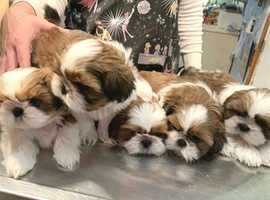 Boys & Girls shih tzu puppies