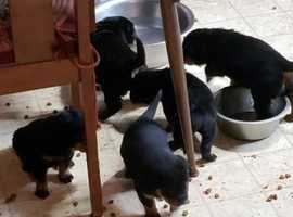 Very healthy bloodlines and socialize Rottweiler puppies for sale