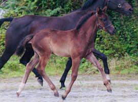 Black dressage colt
