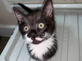 Beautiful back kitten