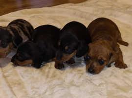Beautiful Dachshund Puppies.