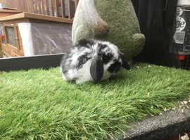 Black butterfly mini lop baby rabbit BUCK
