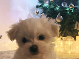 Maltese bitch puppy for sale!!