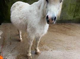 Welsh A mare in foal