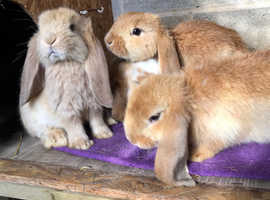 Stunning French lops