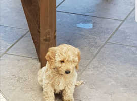 Beautiful f1 cockerpoo puppy