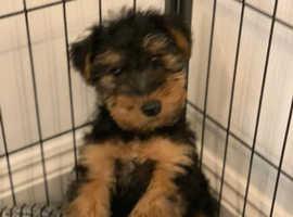 Welsh Terrier Boy