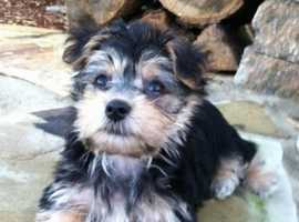 Cavachon or morkie puppy wanted