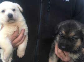 3 beautiful german shepherd puppies for sale