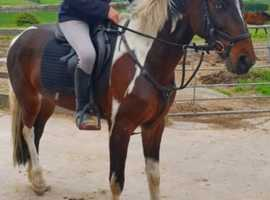 15.1hh a irish sports horse type mare