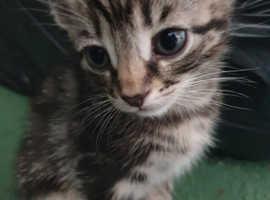 2 tabby and 2 dark tabby kittens