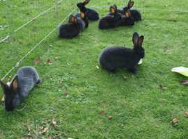 3 giant baby rabbits