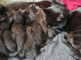 Maine coon cross kittens for sale.