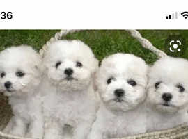 BICHON FRISES 3 boys to sale. mother and father can be seen