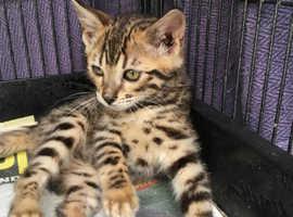 Quality Bengal Kittens