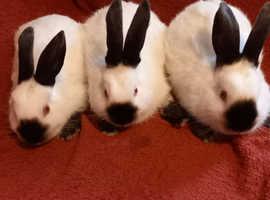 Californian Rabbits Bucks
