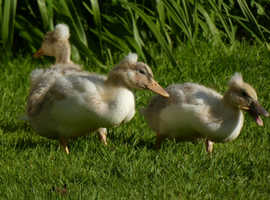 Ducklings:-  German Pekin and Pure Magpie Call