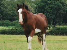 Clydesdale youngster filly