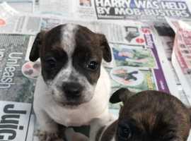 2 boy puppies left!!!