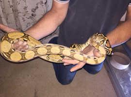 snake boa constrictor female