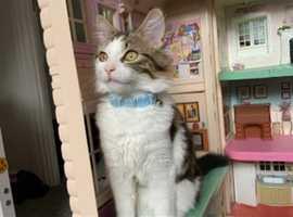 Beautiful Siberian Kitten for sale