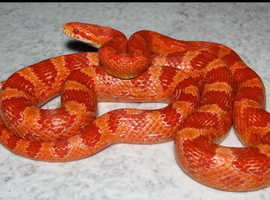 Corn Snake 6yr old male