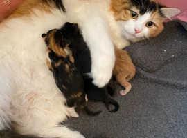 LAST 2 left! Fluffy 3/4 ragdoll cross kittens for sale