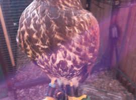 Harris hawk male