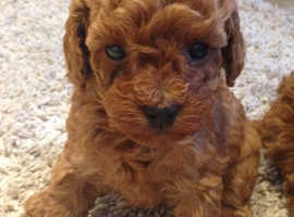 FOX RED TOY POODLE PUPPYS READY TO GO