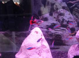 9 neon tetras 1 guppy free to a good home