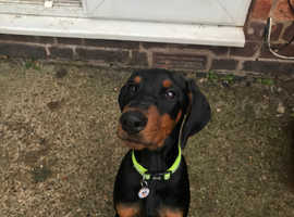 Doberman puppy 13 weeks