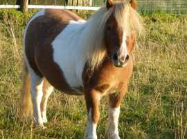 Ride and drive reg Coloured Shetland gelding 5 yrs old.