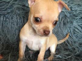 Kc Chihuahua puppy