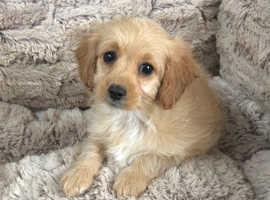 Cavapoochon female puppy