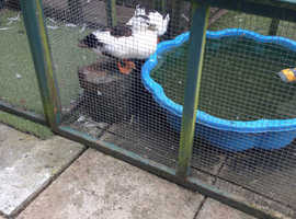 Free to a good home two male magpie call dugs