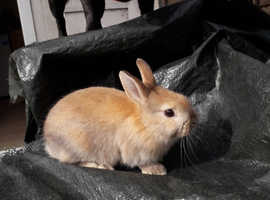 Ready now mixed breed bunny for sale.