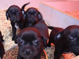 5 Beautiful Jug Puppies